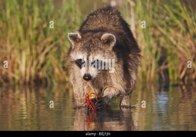 Northern Raccoon (Procyon lotor), adult in water eating Crayfish, Crawfish,Corpus Christi, Coastal Bend, Texas, - Stock Image