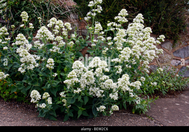 Centranthus ruber 'Albus' - White Valerian - Stock Image