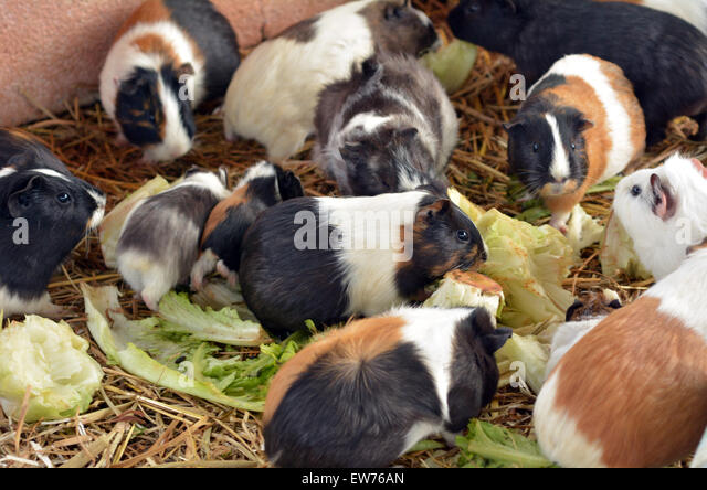 Parti-colored Abyssinian guinea pigs eat Lettuce in Petting zoo. - Stock Image