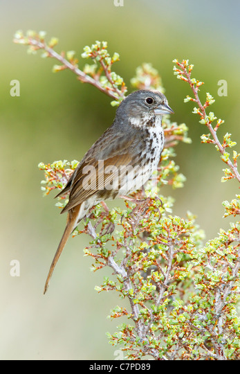 Fox Sparrow Passerella iliaca megarhyncha Lee Vining Canyon, California, United States 14 May Adult Emberizidae - Stock Image