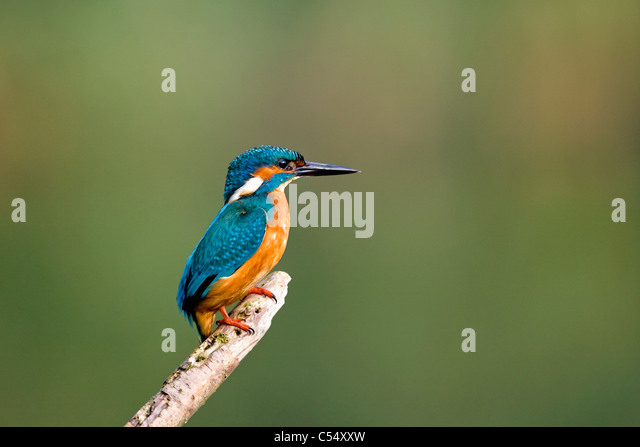 The Netherlands, Lelystad, National Park called Oostvaarders Plassen. Common Kingfisher perched on branch. ( Alcedo - Stock-Bilder