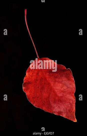 A single Bradford Pear tree leaf in fall colors on a black background - Stock Image