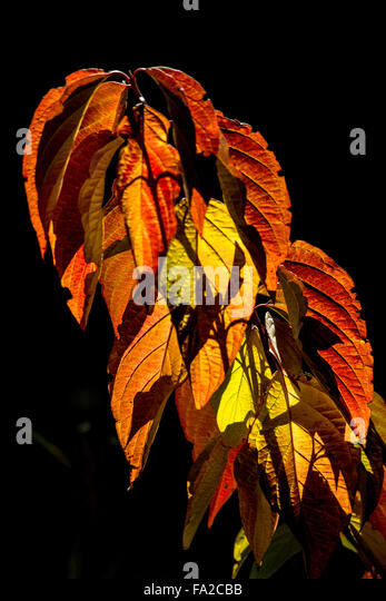 Colorful backlit leaves in garden. Boise, Idaho, USA - Stock Image