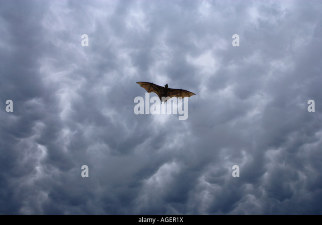 Fruit bat soaring, Papua New Guinea - Stock Image