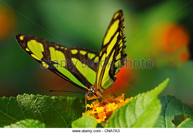 Malachite butterfly (Siproeta stelenes) - Stock Image