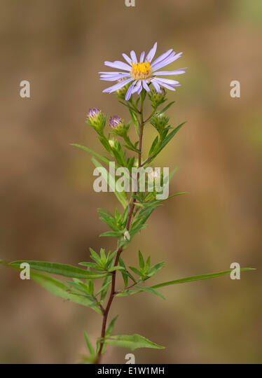 Douglas Aster (Symphotrichum subspicatum) - Saanich BC, Canada - Stock Image