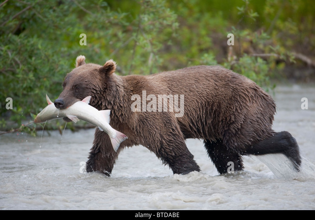 Brown bear walking in Copper River with a Coho salmon in its mouth during Summer, Chugach National Forest, Southcentral - Stock Image