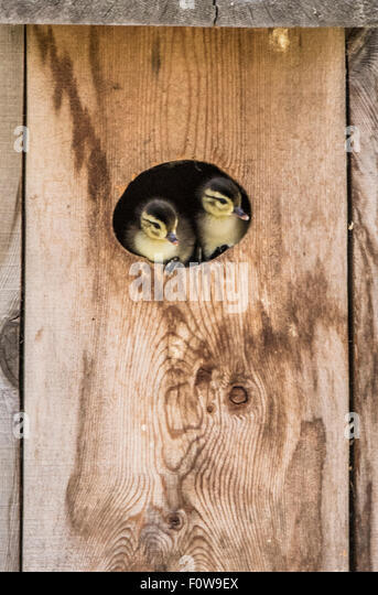 Wildlife, Birds,New born Wood Duck Chicks peaking out of Wood Duck Box/Nest.Boise, Idaho, USA - Stock Image