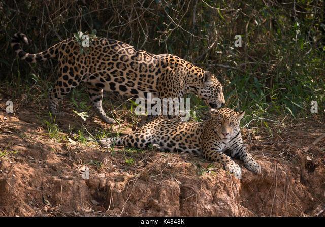 Jaguar siblings from North Pantanal, Brazil - Stock Image