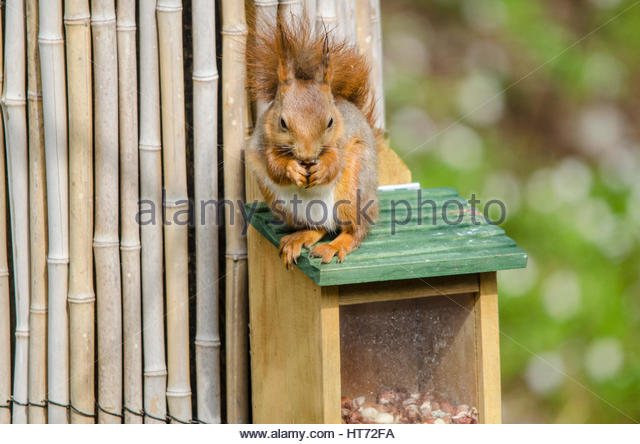 Squirrel eating peanuts on the roof of his own squirrelfeeder, or squirrelhouse. - Stock Image