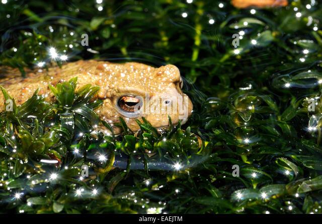 Elodea stock photos elodea stock images alamy for Garden pond kent
