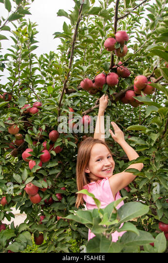 Smiling girl picking apples in fruit orchard - Stock Image