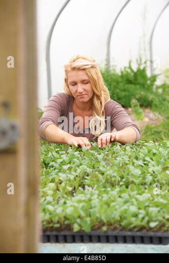Female Farm Worker Checking Plants In Greenhouse - Stock Image