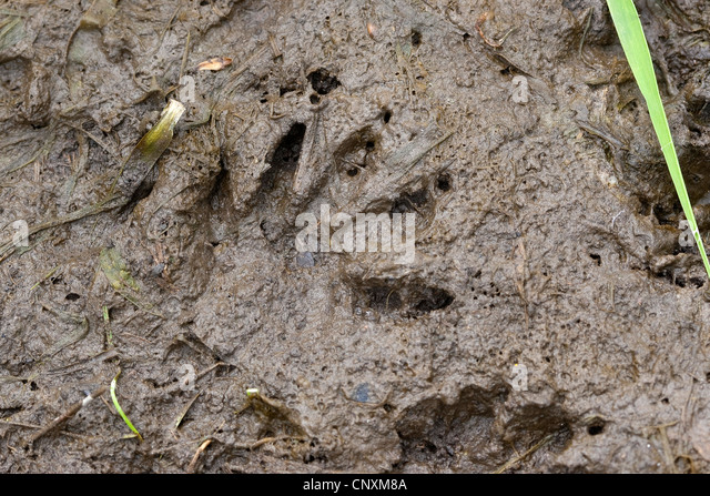 common raccoon (Procyon lotor), foot print in mud, Germany - Stock Image