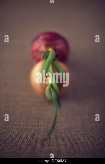 spring red & yellow onions - Stock Image