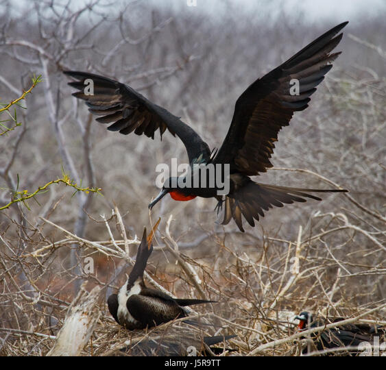 Red-bellied frigate is sitting on a nest. The Galapagos Islands. Birds. Ecuador. An excellent illustration. - Stock Image