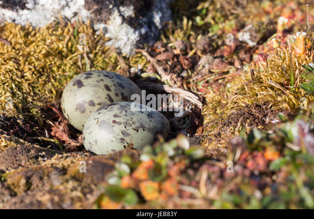 A pair of green and brown speckled eggs lie in the tiny hollow of an Arctic Tern nest near Hamiltonbreen in Spitzbergen. - Stock Image