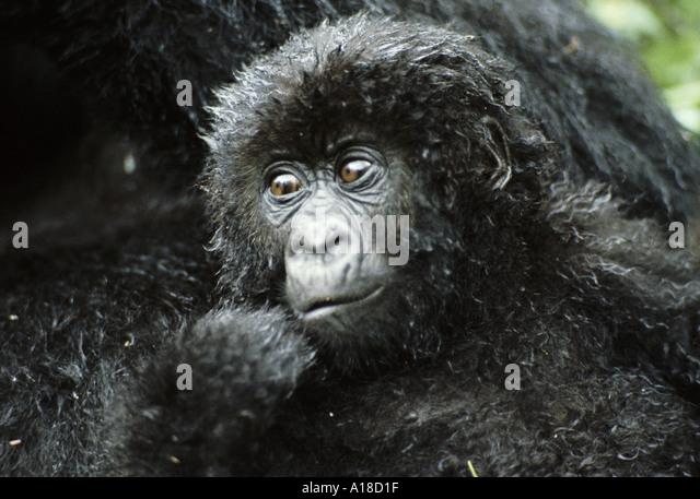 Baby mountain gorilla Rwanda Photographer Sjaak van den Nieuwendijk - Stock Image