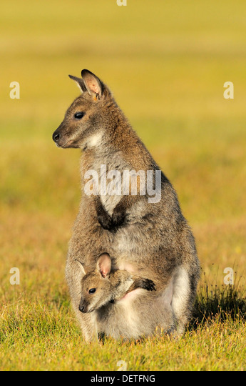 Bennett's Wallaby Macropus rufogriseus Female with joey in pouch Photographed in Tasmania, Australia - Stock Image