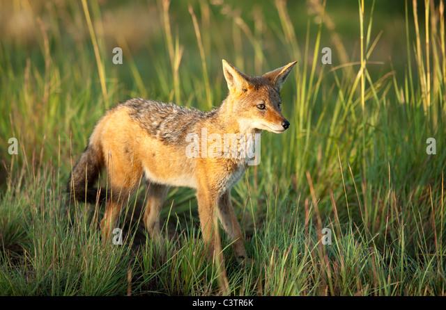 Black-backed Jackal (Canis mesomelas), Golden Gate Highlands National Park, South Africa - Stock-Bilder