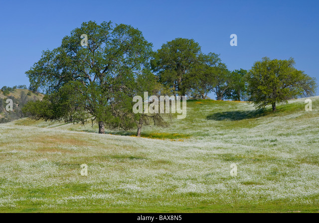 Valley oak trees in a meadow blooming with wildflowers - Fresno, California. - Stock Image
