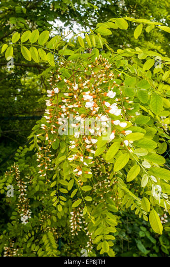 Acacia tree leaves and flowers - France. - Stock Image