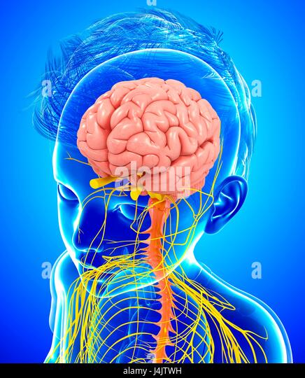 Illustration of a child's brain and nervous system. - Stock-Bilder