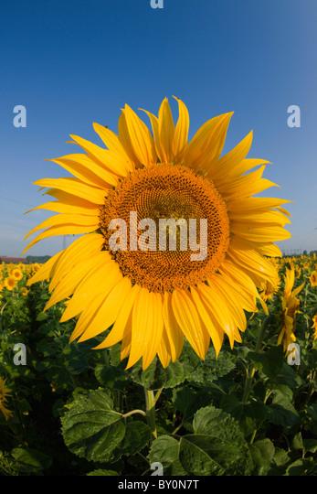 Sunflowers, Helianthus annuus, Munich, Bavaria, Germany - Stock Image