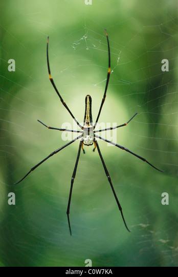 Giant Golden Orb Weaver Spider on its web in the Sinharaja Rainforest,, Sri Lanka - Stock Image