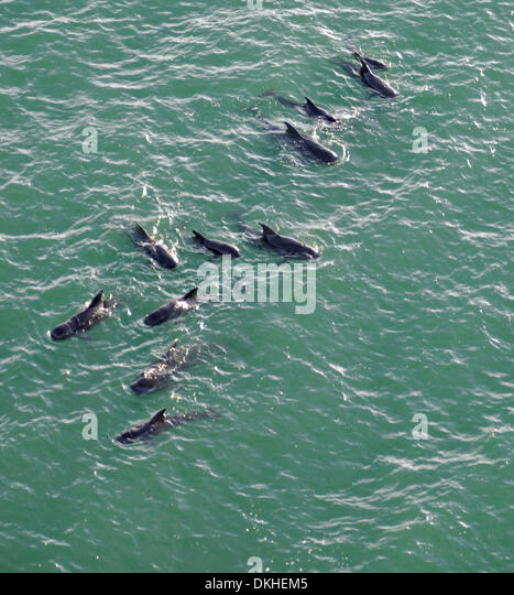 A pod of pilot whales swims off the coast of Everglades National Park where 41 whales have been stranded in shallow - Stock Image