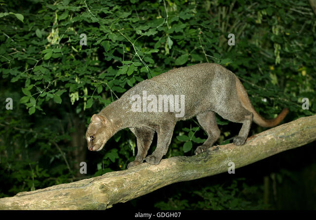 Jaguarundi, herpailurus yaguarondi, Adult on Branch - Stock Image