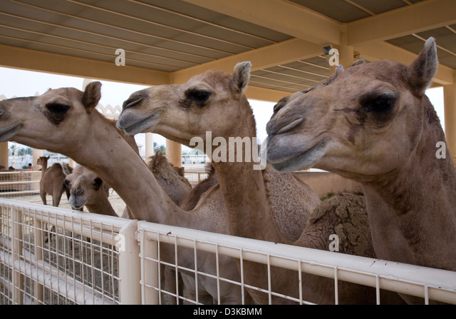 Bahrain's ruling Al-Khalifa maintain one of the world's largest private herds of camels, Manama, Bahrain. - Stock Image