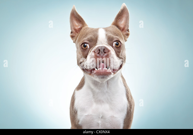 Portrait of Boston terrier dog - Stock Image
