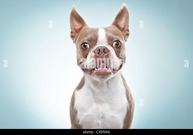 Portrait of Boston terrier dog - Stock Image