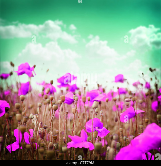 Pink poppy flowers on a green sky background. - Stock Image