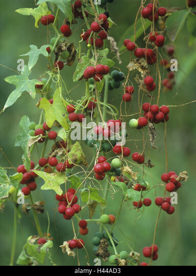 Rotfrüchtige fence turnip, Bryonia dioica, fruits, detail, - Stock Image