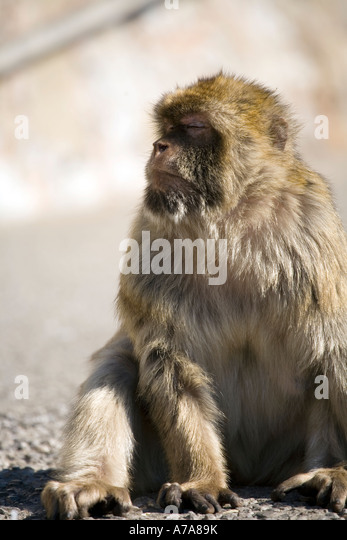 Adult Gibraltar Ape - Stock Image
