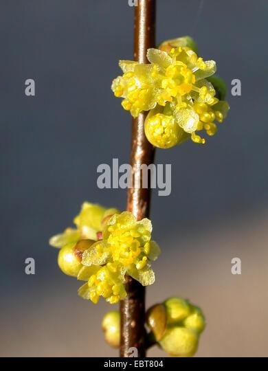 benjamin, spicebush (Lindera benzoin), blooming branch - Stock Image