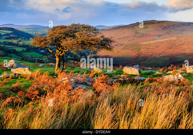 Evening light at Combestone Tor on Dartmoor. - Stock Image