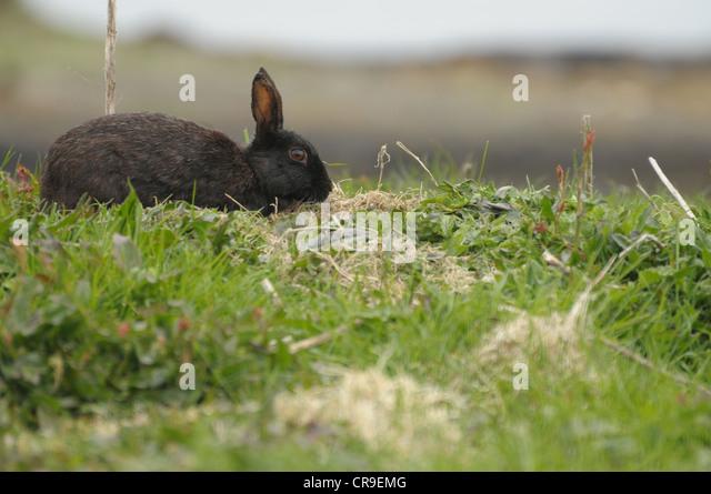 Wild black rabbit on the Isle of Lunga, Scotland. - Stock Image