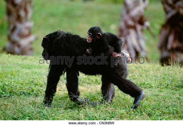 Common chimpanzee with infant on back, native to West Central Africa - Stock-Bilder