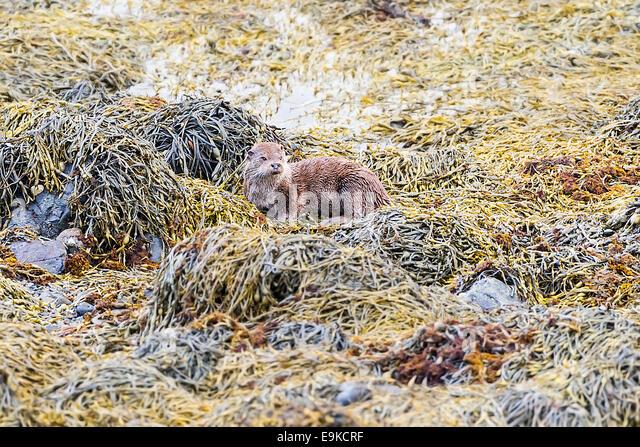European otter resting on seaweed on the shore of a sea loch - Stock-Bilder