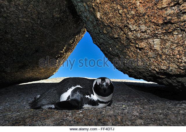 African penguin, Spheniscus Demersus, resting between the rocks, Boulders Beach, Western Cape, South Africa - Stock Image
