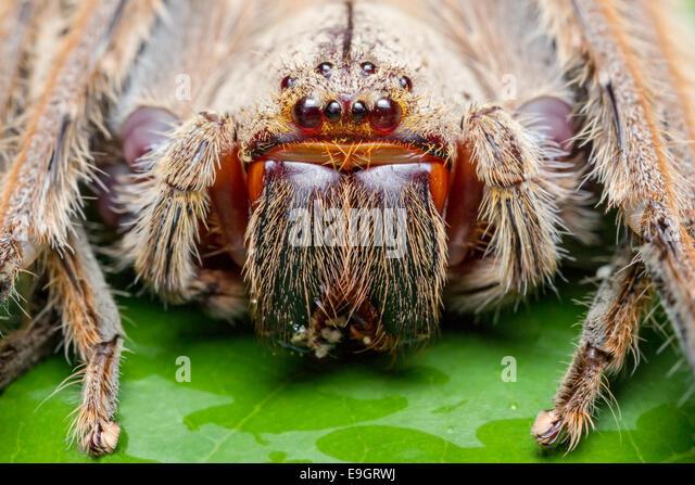Huntsman spider (Heteropoda sp.) feeding on a bug in tropical rainforest of Malaysia - Stock Image