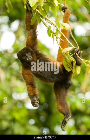 Poeppig's woolly monkey ( or silvery woolly monkey) Lagothrix poeppigii - Stock Image