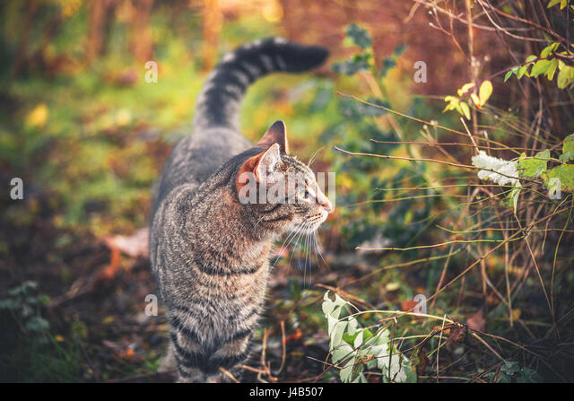 Cat walking in a garden in the morning sun looking to the right - Stock Image
