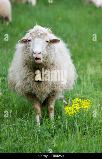 Sheep with bell round neck - Stock Image