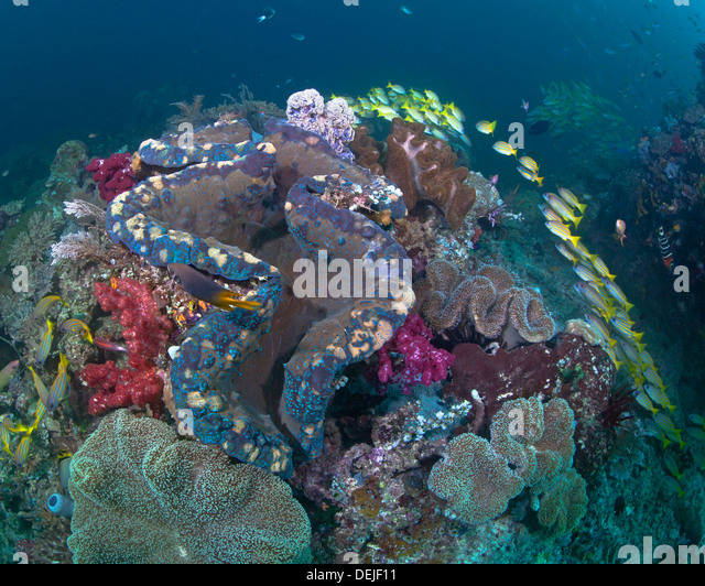 giant clam tridacna gigas corals stock photos amp giant clam