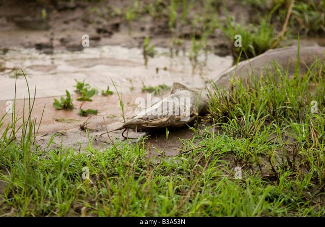 Clarias Stock Photos & Clarias Stock Images - Alamy - photo#48