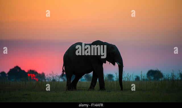 African elephant (Loxodonta africana) silhouetted against the sunset, Chobe National Park, Botswana. - Stock-Bilder